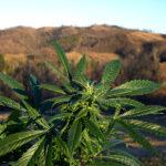 Cannabis Light Everweed CBD - Prodotti a base di Canapa Legale