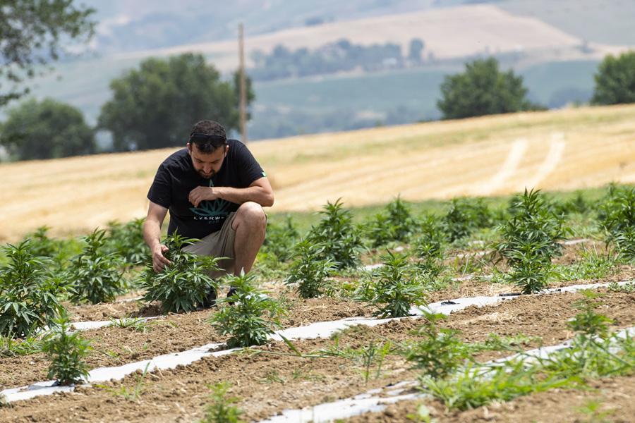 Cannabis Light Everweed - Prodotti a base di Canapa