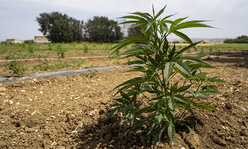 Coltivare Cannabis - L'importanza del terreno